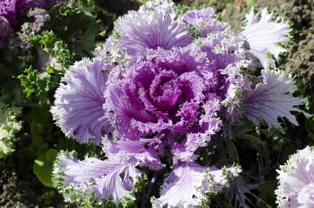 flowering kale: Pink cabbage grows in the garden. Stock Photo