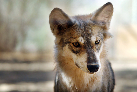canis: Gray wolf or grey wolf (Canis lupus) portrait. Stock Photo