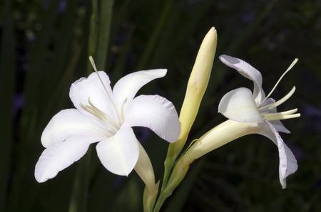 hosta: Two long-stemmed white hosta flowers