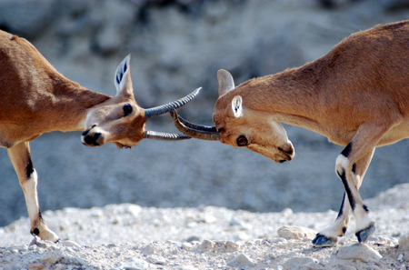 mountain goats: Two Ibex Mountain goats fight over femaleterritory near the Dead Sea, Israel. Stock Photo
