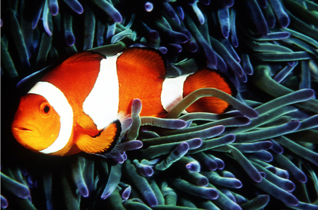 scubadiving: A clownfish close up  in his natural habitat. Stock Photo