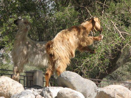 mountain goats: Mountain goats on Jebel Shams, Oman.