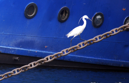 white nile: White Heron on a boat anchor chain in the Nile river, Egypt.