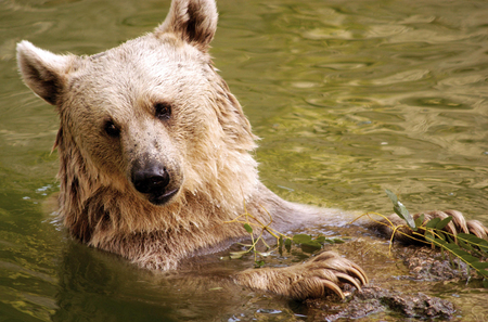 ooking: A brown bear in water.