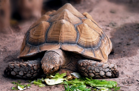 scientifically: A solitary Aldabra giant tortoise eats green letters. Scientifically known as Aldabrachelys gigantea, is one of the largest tortoises in the world. Stock Photo