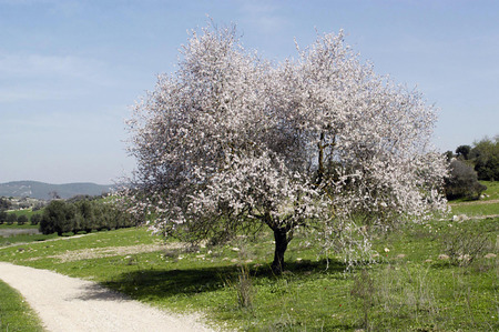 almond bud: A almond tree in a green field with blue sky.