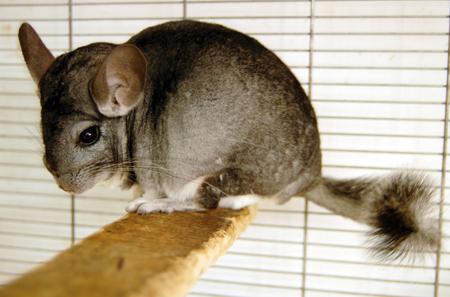 chinchilla: Chinchilla in cage.