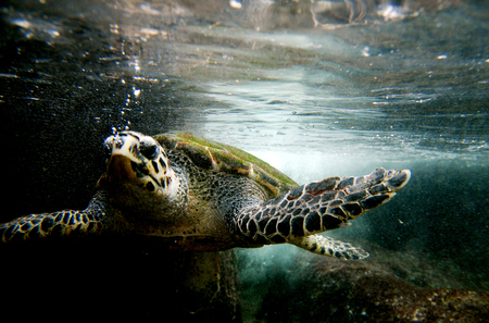 green sea: Green sea turtle swimming. Close up photo.