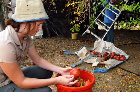 kibbutz: Israeli farmers in a kibbutz are collecting pomegranates in time for Rosh Hashanah.