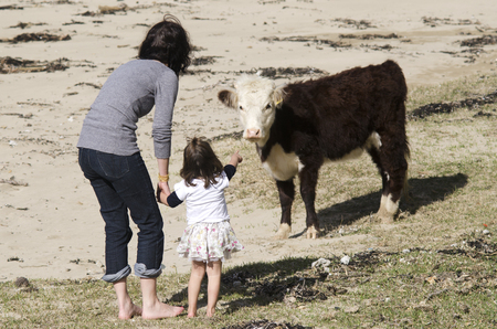 daugther: Mother and her daugther play with Ayrshire cattle in a dairy farm.