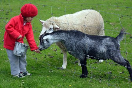 Little girl feeds sheep and a goat in the farm.