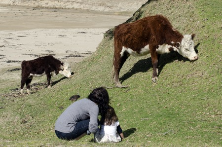 daugther: Mother and her daugther looks at Ayrshire cattle  in a dairy farm in New Zealand.