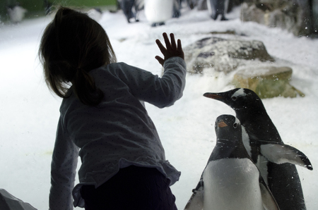 penguin colony: AUCKLAND, NZ - APRIL 26: Little girl interact with Gentoo Penguins in Kelly Tarltons sea world on April 26 2013. Its the worlds largest Antarctic penguin colony exhibit. Editorial