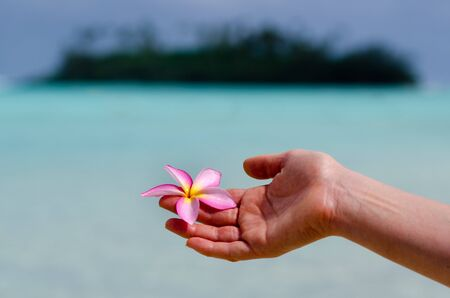 pacific islands: Frangipani Plumeria rubra, also known as the Hawaiin Lei flower, is native to warm tropical areas of the Pacific Islands, Caribbean, South America and Mexico.