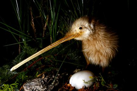 Kiwi vogel en een ei in Nieuw-Zeeland.