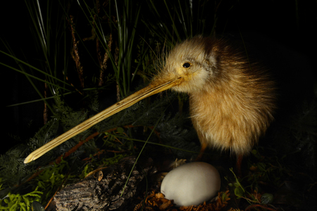 Kiwi bird and an egg in New Zealand.