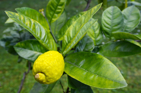 Fresh Citron, Etrog grow on a tree