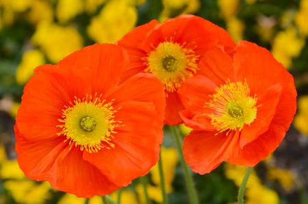 papaver: Group of Orange,Papaver nudicaule flowers, bubble champagne scarlet blossoming in the spring.