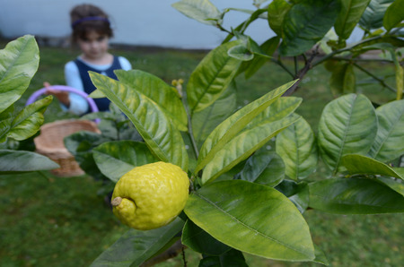 succos: Jewish girl picking a fresh Citron, Etrog from on a tree