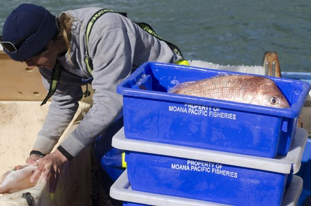 fishingboat: MANGONUI, NZ - JULY 25:Fisherman puts Snapper in a box on July 25 2013.NZ exclusive economic zone covers 4.1 million km2,Its the 6th largest zone in the world and 14 times the size of NZ.