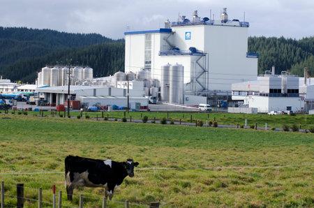 ingenieria industrial: Whangarei, Nueva Zelanda - 28 de julio: Una vaca en frente de la planta de Fonterra Kauri el 28 de julio 2013.In 2010 Wikileaks sugirió NZ había enviado tropas a Irak en el 2003 por lo que Fonterra mantendría valioso aceite para los contratos de comida.