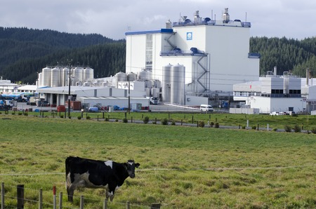 WHANGAREI,NZ - JULY 28:A cow in front of Fonterra Kauri plant on July 28 2013.In 2010 Wikileaks suggested NZ had sent troops to Iraq in 2003 so Fonterra would keep valuable Oil for Food contracts.