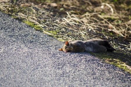 nz: WELLSFORD, NZ - JULY 28:Run over Possum on July 28 2013.It brought from AUS in 1837 for fur industry attempt that failed.Today 50M Possums are disliked animal in NZ due to damage to nature and farmland