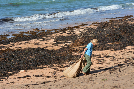 the aftermath: CABLE BAY,NZ-MAR 17:Woman collect seaweed from the beach on Mar 17 2014.The use  of washed seaweed for soil enriching in New Zealand is very popular for home gardening. Editorial