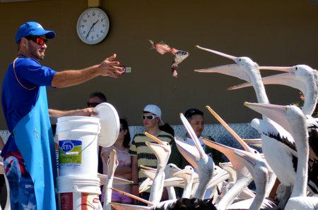 gold coast: GOLD COAST, AUS - SEP 30 2014:Pelican feeding frenzy at Labrador Gold Coast , Australia.Pelicans are the largest flying bird in Australia Editorial