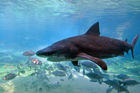 predilection: GOLD COAST, AUS -  NOV 06 2014:Bull shark in Sea World Gold Coast Australia.Its known for its aggressive nature, predilection for warm shallow water and presence in freshwater estuaries and rivers.