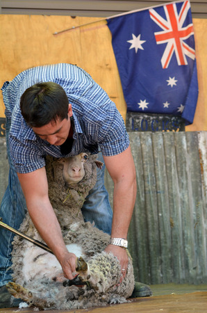 shearer: QUEENSLAND, AUS - NOV 04 2014:Australian Sheep shearer during work in Queensland, Australia.Australian wool industry dates from the import of merino sheep in 1797 by John Macarthur and Samuel Marsden.