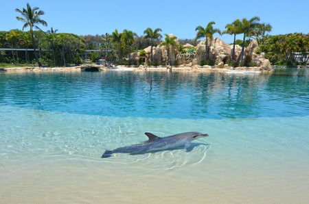 lifespan: GOLD COAST, AUS -  NOV 11 2014:Captive Dolphin in Sea World Gold Coast Australia. Bottlenose Dolphins are the most common species of dolphin kept in dolphinariums as they are relatively easy to train, have a long lifespan in captivity and a friendly appea