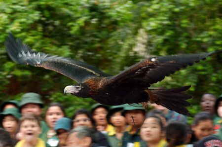 GOLD COAST, AUS - NOV 04 2014:Majestic Wedge-tailed Eagle fly above a crowed of people during flight bird show in Currumbin Wildlife Sanctuary, Queensland. Its the largest bird of prey in Australia. Editorial