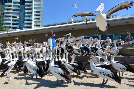 feeding frenzy: GOLD COAST, AUS - SEP 30 2014:Pelican feeding frenzy at Labrador Gold Coast , Australia.Pelicans are the largest flying bird in Australia Editorial
