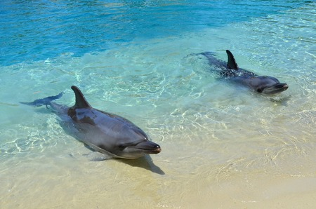lifespan: GOLD COAST, AUS -  NOV 06 2014:Captive Dolphins in Sea World Gold Coast Australia. Bottlenose Dolphins are the most common species of dolphin kept in dolphinariums as they are relatively easy to train, have a long lifespan in captivity and a friendly appe Editorial