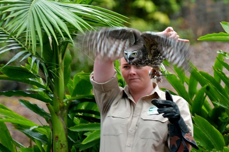 barking: GOLD COAST, AUS - NOV 04 2014:Australian Barking Owl during flight bird show in Currumbin Wildlife Sanctuary.It have characteristic voice that can range from a barking dog noise to a shrill woman scream.
