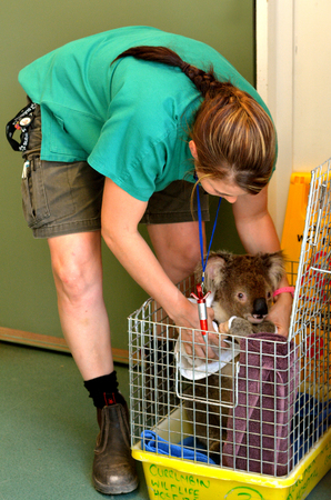 animal doctor: GOLD COAST, AUS - NOV 04 2014:Injured Koala patient in Currumbin Wildlife Sanctuary Hospital.The wildlife hospital admits over 8000 native animal patients brought in by the local community annually.