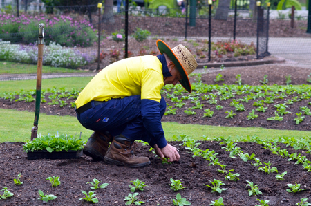 spading fork: BRISBANE, AUS - SEP 24 2014:Gardner planting plants at Brisbane City Botanic Gardens.The Gardens include many rare and unusual botanic species of plants, flowers and trees.