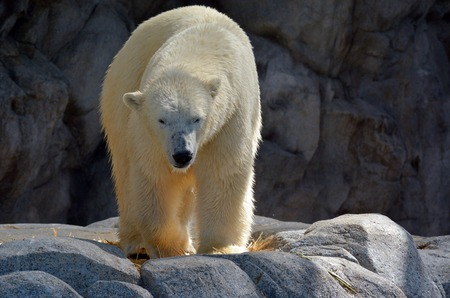 endangered species: GOLD COAST, AUS -  NOV 06 2014:Polar Bear male in Sea World Gold Coast Australia.In 2008, U.S. Department of the Interior listed the polar bear as a Threatened Species under the Endangered Species Act.