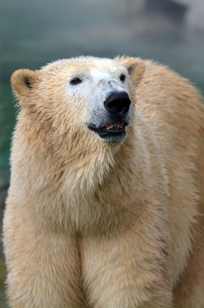 us department of the interior: GOLD COAST, AUS -  NOV 06 2014:Polar Bear male in Sea World Gold Coast Australia.In 2008, U.S. Department of the Interior listed the polar bear as a Threatened Species under the Endangered Species Act.