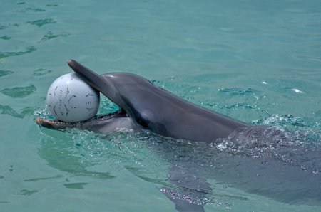 GOLD COAST, AUS -  NOV 11 2014:Captive Dolphin in Sea World Gold Coast Australia. Bottlenose Dolphins are the most common species of dolphin kept in dolphinariums as they are relatively easy to train, have a long lifespan in captivity and a friendly appea