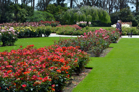 mackenzie: PALMERSTON NORTH, NZL - NOV 29 2014:Visitors in Dugald MacKenzie Rose Garden.It was opened in 1968 and contains over 5000 roses in named beds.