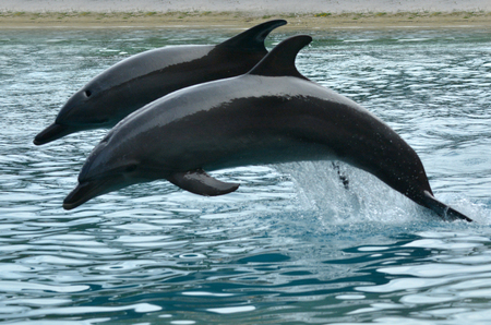 lifespan: GOLD COAST, AUS -  NOV 11 2014:Bottlenose Dolphins jumps. Its the most common species of dolphin kept in dolphinariums as they are easy to train, have a long lifespan in captivity and friendly.