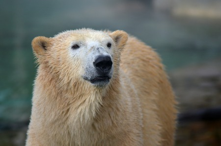 polar life: GOLD COAST, AUS -  NOV 06 2014:Polar Bear in Sea World Gold Coast Australia.In 2008, scientists estimated that there might be up to 25,000 Polar bear left in the wild. Editorial