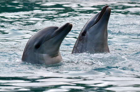 gold coast australia: GOLD COAST, AUS -  NOV 11 2014:Captive Dolphin in Sea World Gold Coast Australia. Bottlenose Dolphins are the most common species of dolphin kept in dolphinariums as they are relatively easy to train, have a long lifespan in captivity and a friendly appea