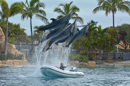 GOLD COAST, AUS -  NOV 11 2014:Dolphin show in Sea World Gold Coast Australia.Its sea animals theme park that promote conservation education, rescue and rehabilitation sick, injured or orphaned wildlife.