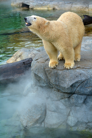 endangered species: GOLD COAST, AUS -  NOV 06 2014:Polar Bear cub in Sea World Gold Coast Australia.In 2008, U.S. Department of the Interior listed the polar bear as a Threatened Species under the Endangered Species Act.