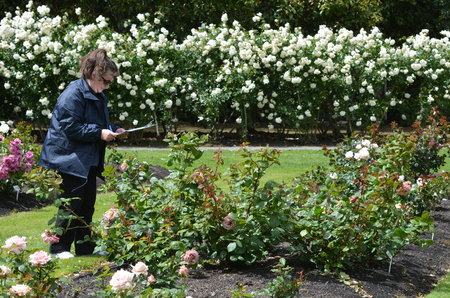 mackenzie: PALMERSTON NORTH, NZL - NOV 29 2014:Judge assesses  new roses in Dugald MacKenzie Rose Garden.Its home of the New Zealand Rose Society International Rose Trial Grounds.