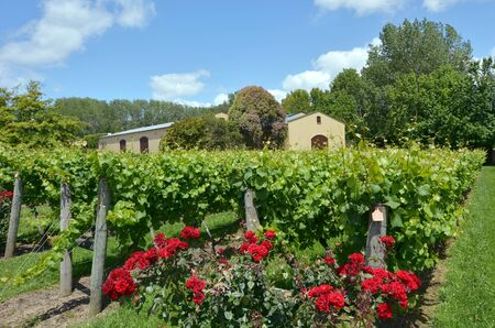sauvignon blanc: MURIWAI, NZL -  JAN 01 2015:Sauvignon Blanc wine vineyard in Muriwai, New Zealand.New Zealand is home to what many wine critics consider the worlds best Sauvignon Blanc.