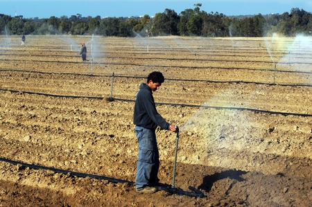brackish water: WESTERN NEGEV- FEBRUARY 16:Israeli farmers watering their potato fields on February 16 2008 in the western Negev, Israel.Research has concentrated on developing new technologies that enable farmers to use brackish salty water for agricultural irrigation. Editorial